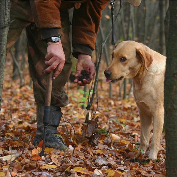 dresser son chien recherche truffe