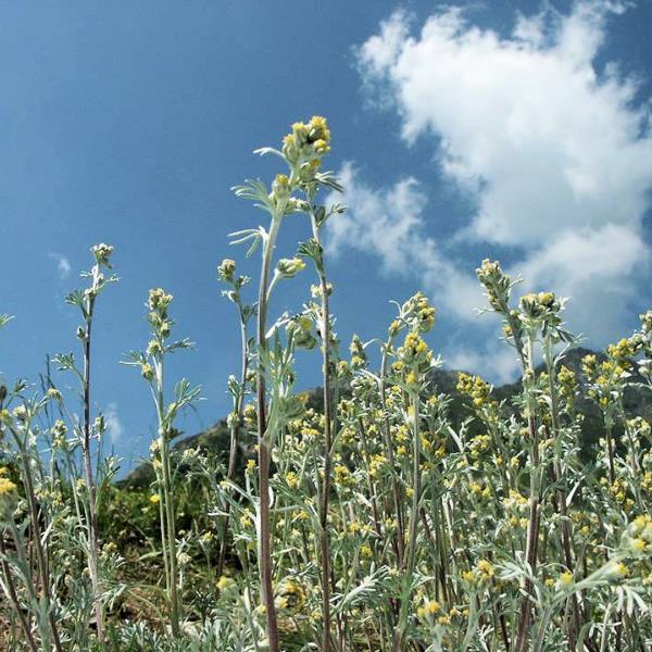 Genepi Bio Des Alpes 500g Sachet De Brins Fleurs Feuilles